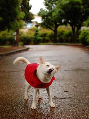 レインコート 紀州犬 400×300