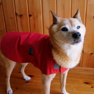 赤いレインコートを着た柴犬の女の子
