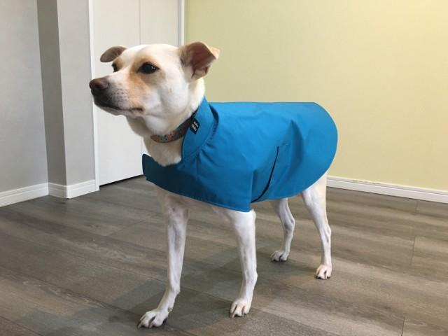 青いレインコートを着た紀州犬ミックス