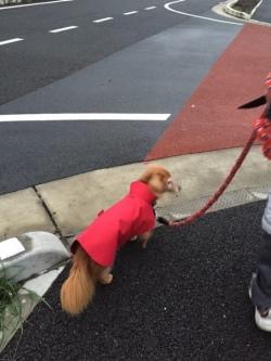 赤いレインコートを着たダックスミックスのくうちゃん