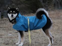 青色のレインコートを着た黒柴犬