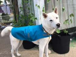 ブルーのレインコートを着た紀州犬