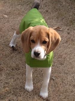 レインコートを着たビーグル犬の小犬