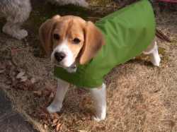 レインウェアを着たビーグル犬