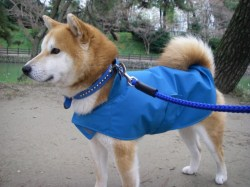 青色のレインコートを着ている柴犬
