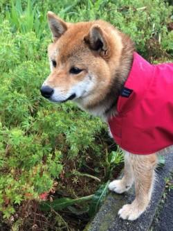 赤いレインコートを着た豆しばの女の子