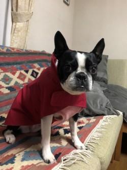 atelier Nokaのレインコートを着たボストンテリアのワンちゃん