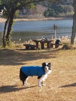 青色のレインコートを着たボーダーコリー