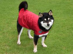 レインコートを着た黒柴犬の男の子