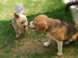 5月の庭にて。ヨークシャテリアとビーグル犬