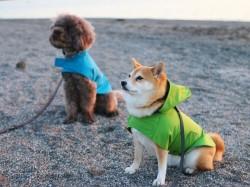 レインコートを着た柴犬のマル子ちゃんとロビー君