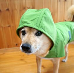 緑のレインコートを着た柴犬のアビーちゃん