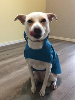 レインウェアを着てお座りするミックス犬