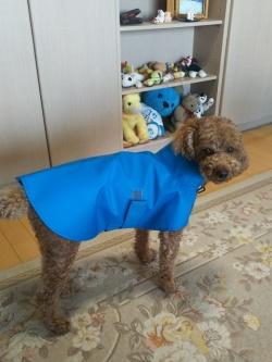 青いレインコートを着たトイプードル