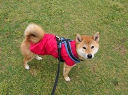 アトリエ ノカのレインウェアを着た柴犬