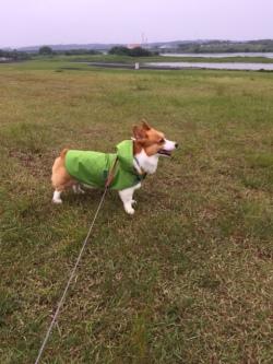 グリーン色のレインコートを着たコーギー