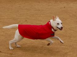 レインコート 紀州犬