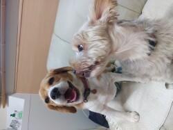 嬉しそうなビーグル犬とヨークシャテリア