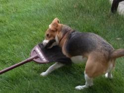 箒で遊ぶビーグル犬