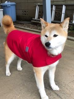 レインコートを着た柴犬のねねちゃん
