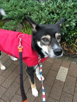 レインコートを着ている日本犬