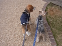 ビーグル犬と大き目のヨークシャテリア