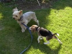 ビーグル犬の子犬とヨークシャテリア