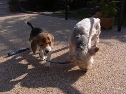 ヨークシャテリアとビーグル犬の小犬