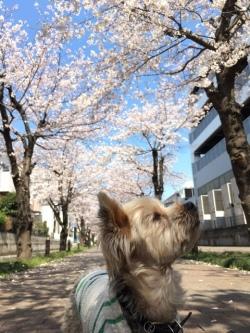 桜を見上げる小型犬