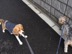 ビーグル犬とテリア犬の散歩の様子