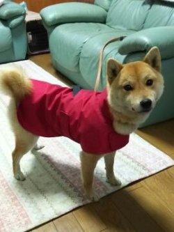 赤いレインコートを着た柴犬