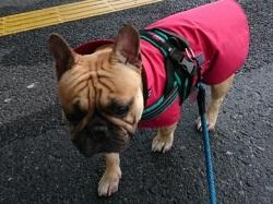 赤いレインウェアを着たフレンチブルドッグのティーラック君
