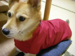 赤いレインコート着用のコーギーミックスワンちゃん