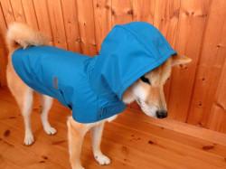 青いレインコートを着た柴犬のzack君