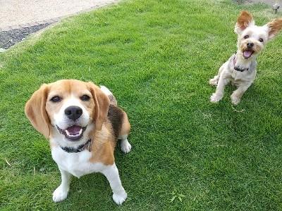 ビーグル犬とヨーキーの笑顔